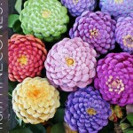 You won't believe what these Zinnias are made of!