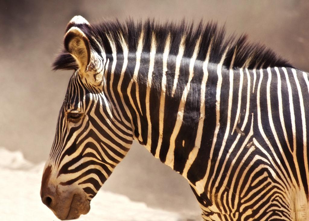 zebra_g1cv5if_